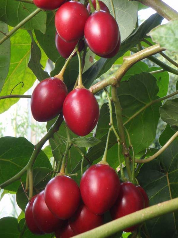 بذر درختچه تاماریلو