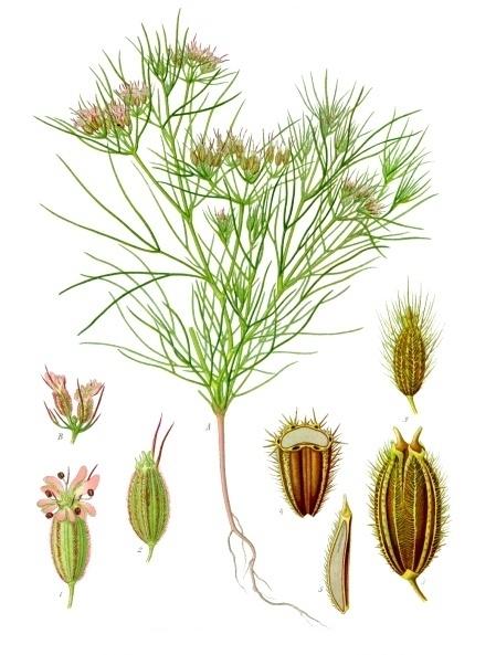 بذر زیره سبز