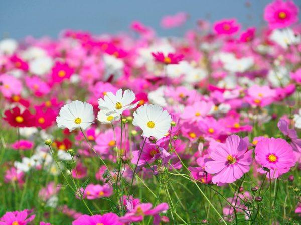 بذر گل ستاره میکس