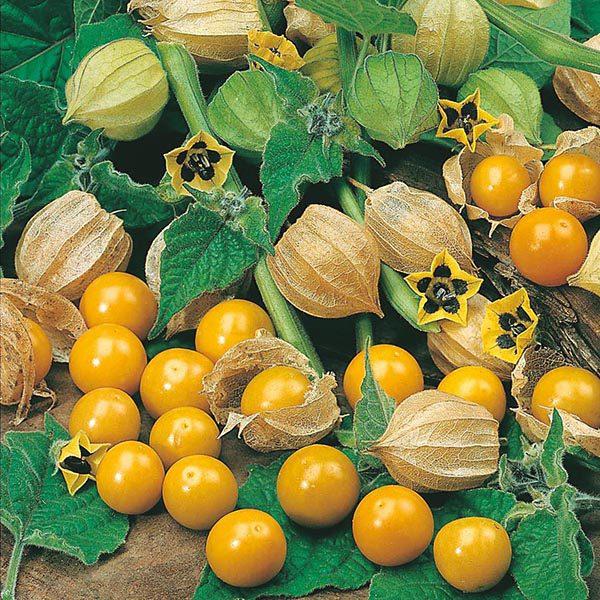 فیسالیس میوه ای لوکس و صادراتی!