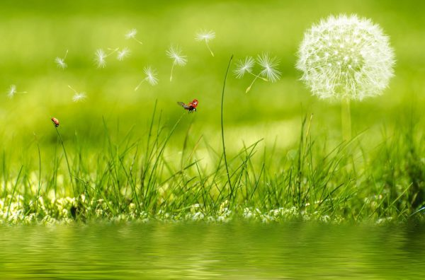 بذر گل قاصدک
