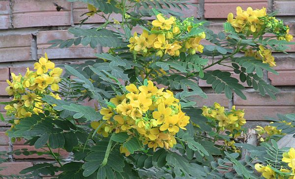 بذر گیاه سنا(کاسیا)