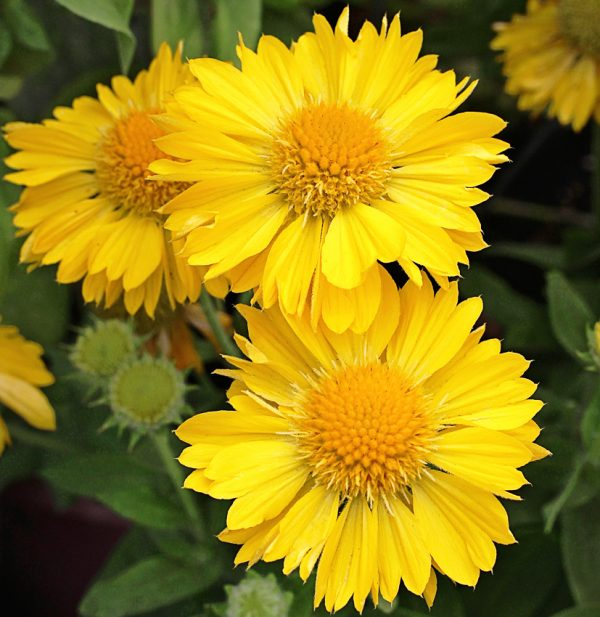 بذر گل رعنا زرد