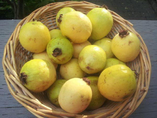 بذر گواوا سیبی زرد