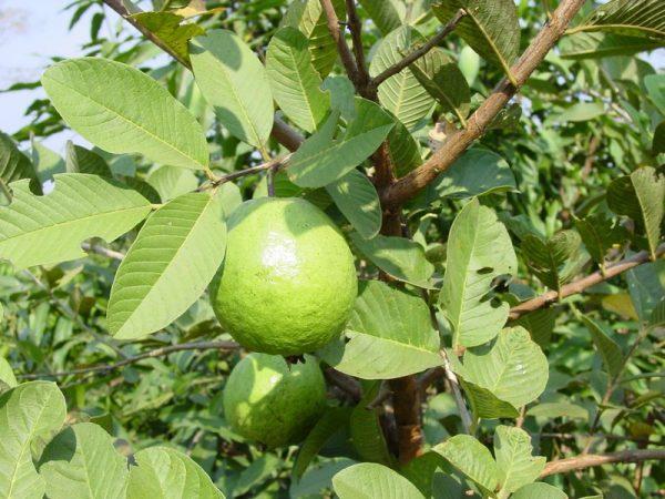 گواوا سیز سیبی