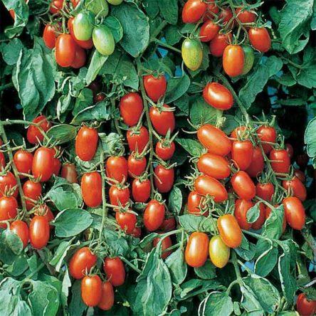 بذر گوجه فرنگی زیتونی میکس