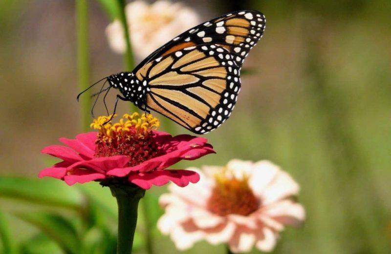 استفاده از حشرات مفید در کشاورزی