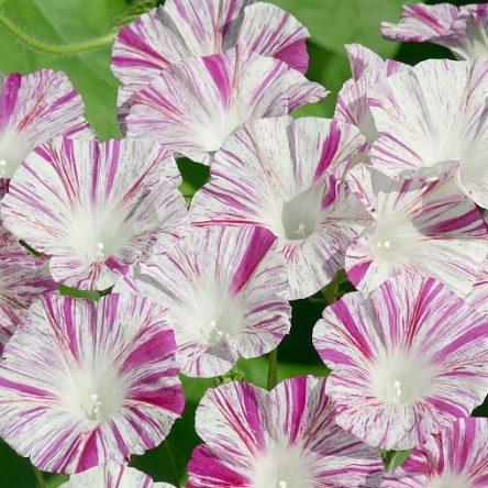 بذر گل نیلوفر پیچ کارناوال ونیز صورتی