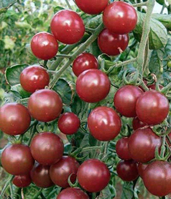 بذر گوجه فرنگی گیلاسی سیاه ارگانیک