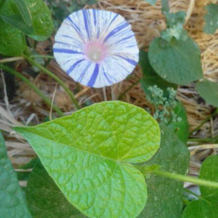 بذر گل نیلوفر پیچ کارناوال ونیز آبی