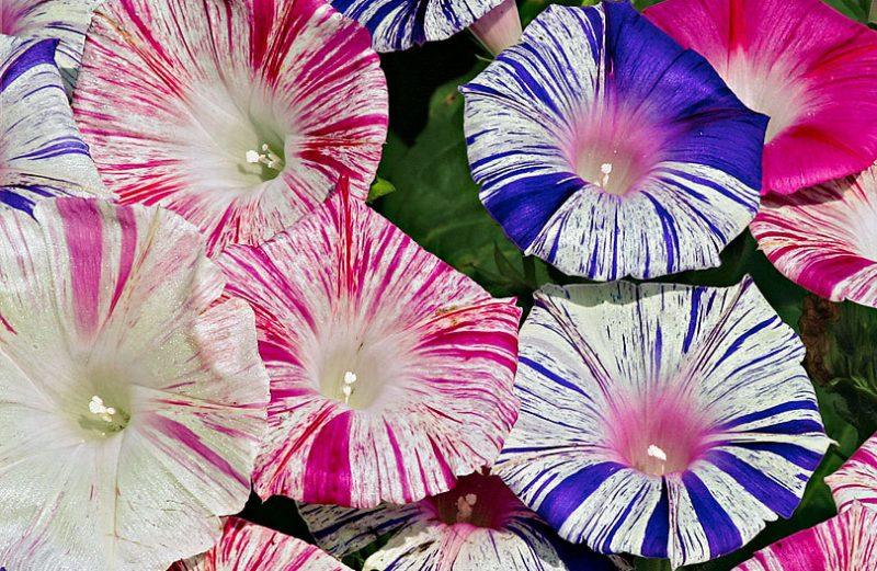 بذر نیلوفر کارناوال ونیز صورتی و آبی