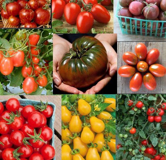 بذر 10 رقم گوجه فرنگی خاص
