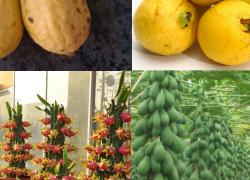 بذر ۴ میوه استوایی