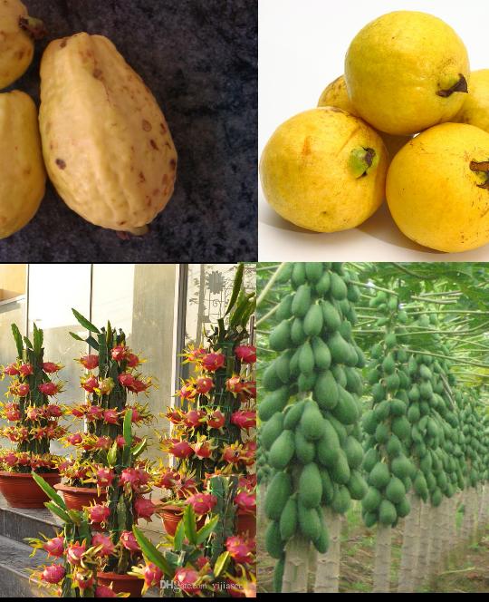 بذر 4 میوه استوایی