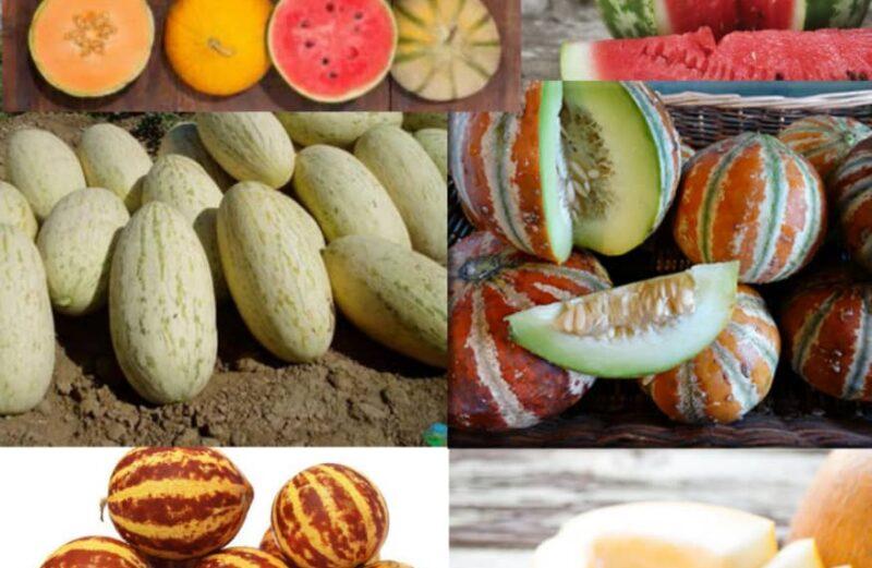 بذر 10 رقم خربزه و هندوانه