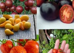 بذر میکس ۵ رقم گوجه فرنگی خاص